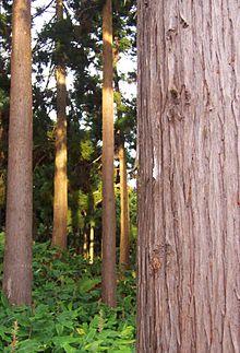 Леса Японии - это... Что такое Леса Японии{q} || Какие деревья растут в японии