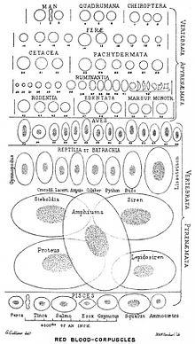 Где происходит образование эритроцитов