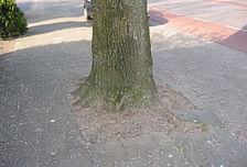 Boomspiegel linde (Tilia ×vulgaris).jpg