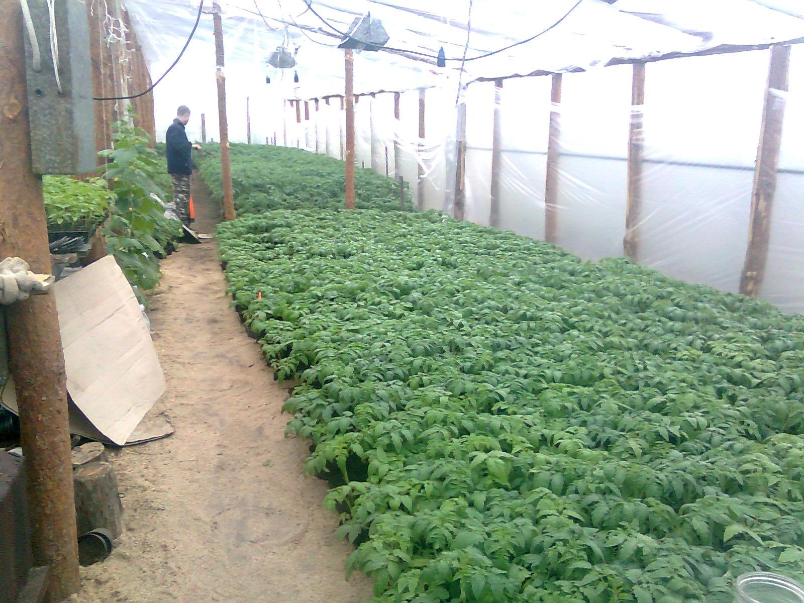 Клубника в теплице - 4 лучших способа выращивания с 27