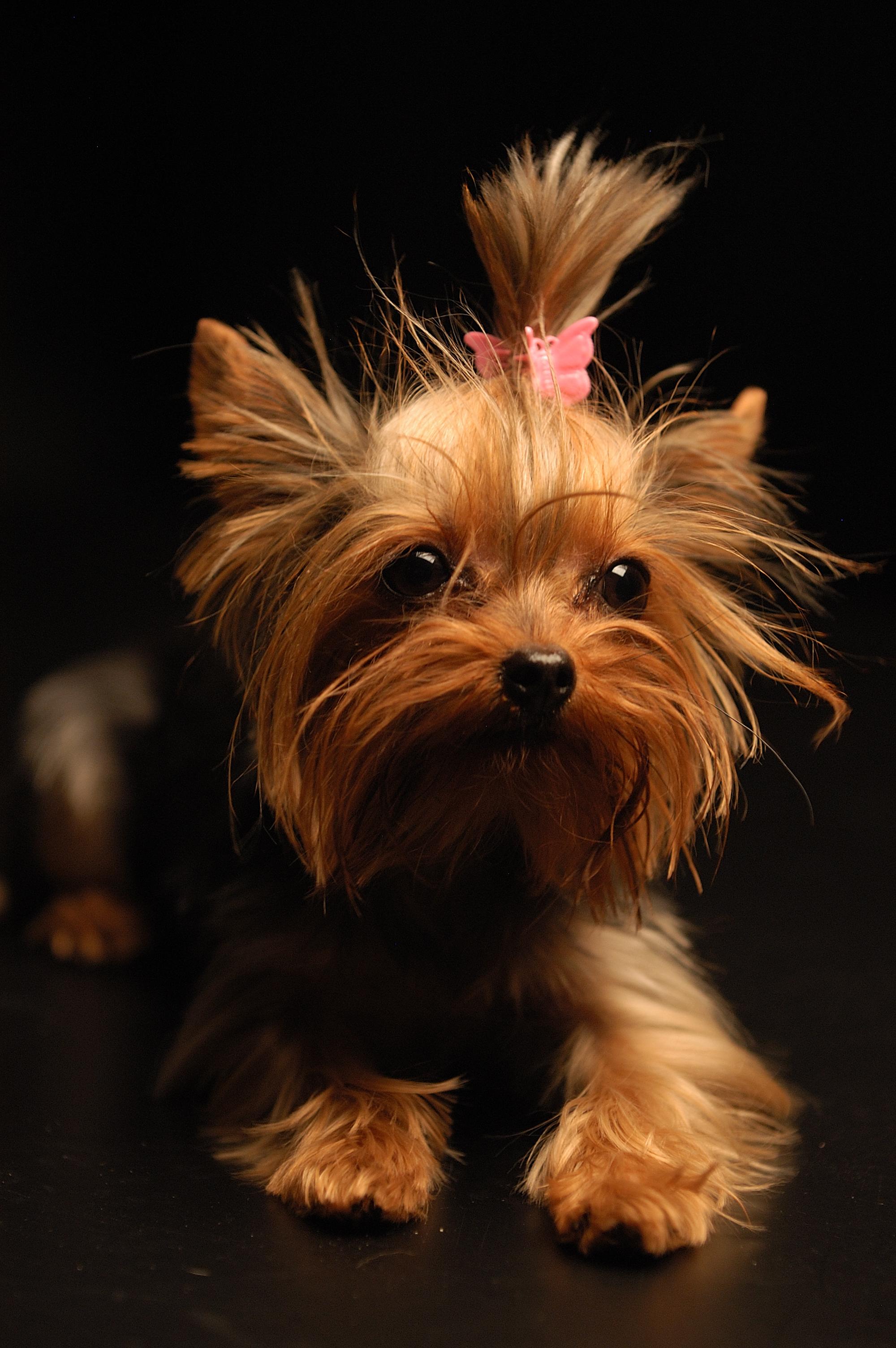 узкий круг порода собак йоркширский терьер фото что
